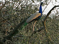 Indian Peafowl (Pavo cristatus) near Hodal W IMG 6404.jpg