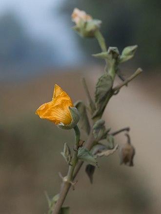 Abutilon indicum - Indian abutilon