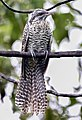 Indian koel female Nepal.jpg