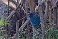 Indigo Bunting (female) Battleground SHP Sabine Pass TX 2018-03-31 07-17-03-2 (39474577830).jpg
