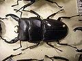 Insect Safari - beetle 27.jpg