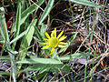 Inula montana Enfoque 2009-7-25 SierraNevada.jpg