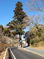 Ipponsugi of Motoyama.JPG