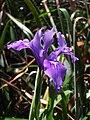 Iris douglasiana.jpg