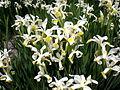 Iris orientalis 1c.JPG