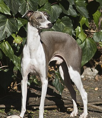 Italian Greyhound - Image: Italian Greyhound