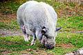 JKCarl Killesberg Schwein1.jpg