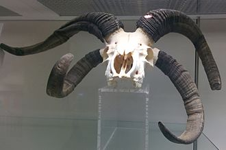 Jacob sheep - Four-horned Jacob skull in the anatomy museum of the Royal Veterinary College in London