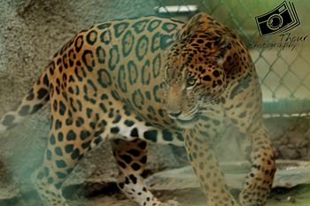 Jaguar indian.jpg