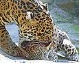 Jaguarpickingupcub08.jpg