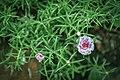 Japaneese Rose.jpg
