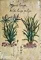 Japanese Herbal, 17th century Wellcome L0030067.jpg