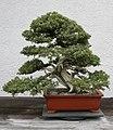 Japanese Needle Juniper (Juniperus rigide) (3505698070).jpg