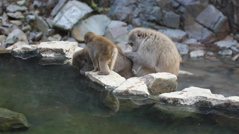 File:Japanmakaken im Jigokudani Monkey Park bei der Fellpflege.webm