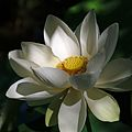 Jardin des Martels - Lotus jaune - 2016-08-07 - 04.jpg
