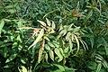 Jasminum humile kz02.jpg