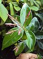 Jasminum laurifolium 22.jpg