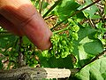 Jatropha curcas 02.jpg