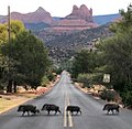 Javelina (Peccary) Crossing Road in Sedona, a la The Beattle's Abbey Road Album cover!.jpg