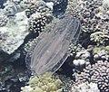 Jellyfish, Медуза, Qualle DSCF2173ОВ.jpg
