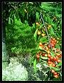 June Flower ^ Cherry Farming Endingen Kaiserstuhl - Master Seasons Rhine Valley Photography 2013 - panoramio (16).jpg