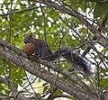Jungle Squirrel (4377176184).jpg