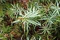 Juniperus oxycedrus kz14 (Morocco).jpg