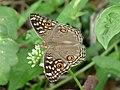 Junonia lemonias of Kadavoor.jpg