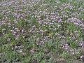 Jurinea multiflora (flowers).jpg