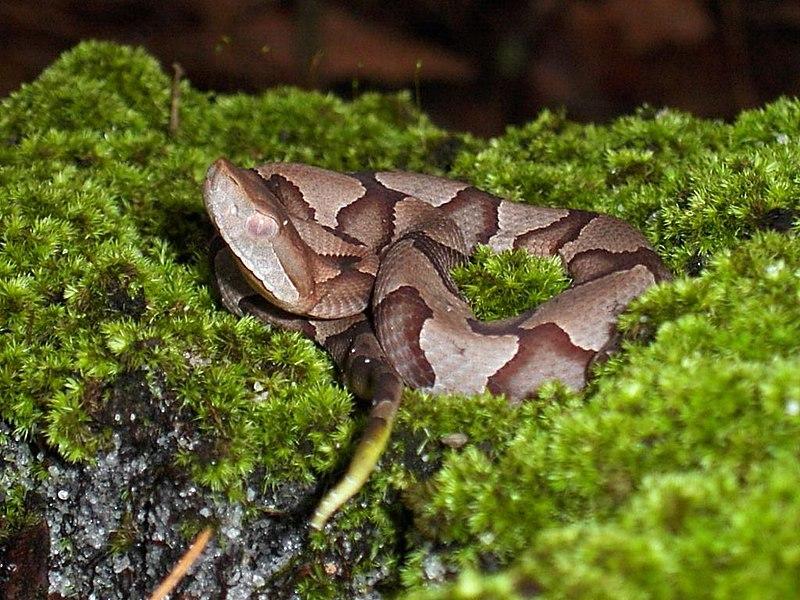 File:Juvenile copperhead snake.jpg