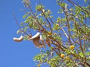 Kameldornbaum Samen und Blüten