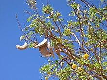 Kameldornbaum Samen und Blüten.jpg