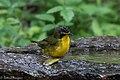Kentucky Warbler (male) Fall Out 2 Sabine Woods TX 2018-04-09 14-16-36-2 (41466458632).jpg