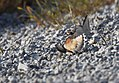 Killdeer Faking an Injury to Protect Young (34446073021).jpg