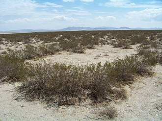Larrea tridentata - King Clone, the 11,700-year-old creosote bush ring in the Mojave Desert