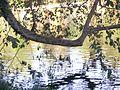 Kodaikanal Lake trees.jpg