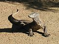 KomodoDragon LookRight.jpg