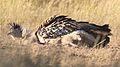 Kori bustard, Ardeotis kori, at Kgalagadi Transfrontier Park, Northern Cape, South Africa (33692671044).jpg
