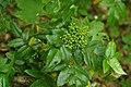 Korina 2015-05-22 Mahonia aquifolium 2.jpg