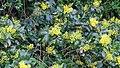 Korina 2016-04-17 Mahonia aquifolium.jpg