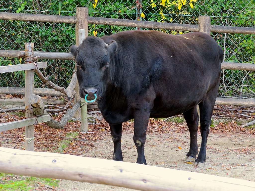https://upload.wikimedia.org/wikipedia/commons/thumb/3/36/Kuchinoshima_cattle_in_Higashiyama_Zoo_-_3.jpg/1024px-Kuchinoshima_cattle_in_Higashiyama_Zoo_-_3.jpg