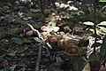 Kudremukha Mushroom.jpg