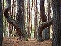 Kurische Nehrung September 2019 Bäume im Tanzenden Wald.jpg