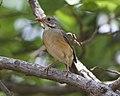 Kurrichane Thrush (Turdus libonyanus) (22060655869).jpg