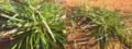 L'herbe Tsipipiana.png