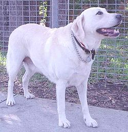 Retriever do Labrador
