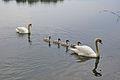 Labutí pár se čtyřmi mladými, Chomoutovské jezero, okres Olomouc.jpg