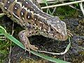 Lacerta agilis (Sand Lizard) female, Molenhoek, the Netherlands.jpg