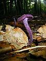 Lacktrichterl., Violett.jpg