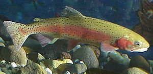 Pyramid Lake (Nevada) - Lahontan cutthroat trout